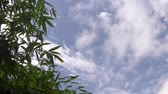 ornamentale : video footage ,green bamboo leaf , green tropical foliage texture blue sky and cloud background .
