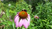 spinacz : bee on a flower