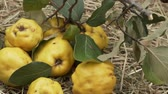 crostate : Harvest quinces close up view. Quince branch and fruits on the hay. Rotation