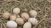 egg shell : The chicken laid an egg. Natural Organic Homemade Eggs. Rotation Fresh eggs lie on the hay. Without GMO. Stock Footage