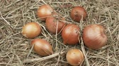 yalan : Organic onion on a hay closeup view. Rotation Harvest onions.