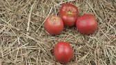 Harvest of organic tomatoes on the hay. Rotation Tomatoes close up view. Rustic still life.