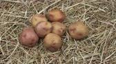 receptek : Organic potatoes on a wooden background. Rotation Potato close up view. Rustic still life.
