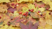 docerias : Autumn berries are strewed on colored leaves. Rotation Bright autumn crop. Stock Footage