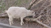 The goat eats dry grass. Winter warm day. Old dry branches. Stok Video