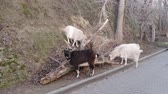 feno : White and black goats graze on the slopes. Animals eat dry grass. Winter warm day. Lies an old dry tree.