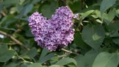 fiori di primavera : Lilac blooms. A branch of lilac. Lilac bush. Flowers on a background of green leaves. Ornamental plant in the garden.