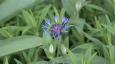 jardineiro : Cornflower blue garden perennial. A flower sways in the wind. There are a lot of ants on the cornflower. Landscaping Vídeos