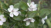 Flowering quince branch. Quince tree blossom in spring. Large quince flowers.