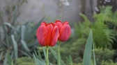 bulbo : Red tulips in the garden sways in the wind. Vídeos