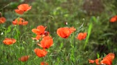 herbívoro : Poppy flower is a wild field, freshness sunny day Stock Footage