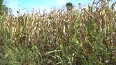 milharal : Corn harvested field in wind. View from side window of car - hand-held camera