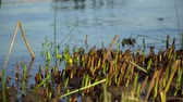 ling : Cuts Reeds on river, autumn last warm days, falls color
