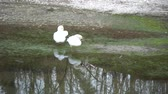 swan couple with white plumage on river, water reflection