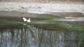 hattyú : swan couple with white plumage on river, water reflection