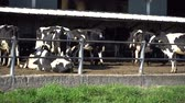 stodola : Cows on farm behind the fence, agriculture concept.