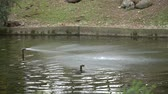 trickle : Flowing water stream, duck swimming on water surface Stock Footage