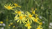 Уайлдфлауэр : flowers Common Ragwort (Senecio jacobaea) Стоковые видеозаписи