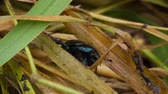 nádech : scarab beetle crawling in the grass