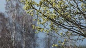 salgueiro : blooming willow springtime Stock Footage