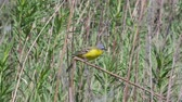 poleiro : male Yellow wagtail Wagtail Motacilla flava sitting on a branch