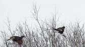 male animal : Black grouse feed on the tops of birches