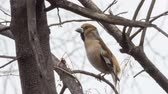 songster : Hawfinch sits among the branches of trees