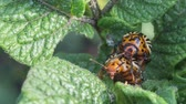 colorado potato beetle : Two Colorado potato beetle on potato leaves