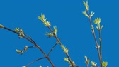 Leaves of a maple are on a blue background
