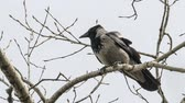 Gray crow sits on a branch