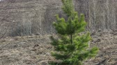 Young pine in early spring