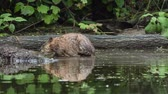 Muskrat in water eats aquatic vegetation Dostupné videozáznamy