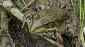 The green frog disguises itself among the marsh ooze