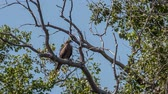 A black kite sits on a dry branch of a tree Dostupné videozáznamy