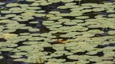 Leaves of water lilies on the water, panorama