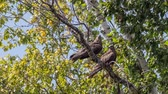 Two black kite Eagles are sitting on a dry branch of a tree