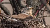 pássaro : Fieldfare, (Turdus pilaris) incubates eggs in her nest Stock Footage