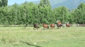 galope : Herd of horses running in the countryside Vídeos