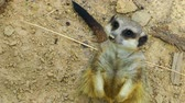 adapted : Sweet Animal Meerkat