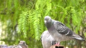 Animal Bird Pigeons Doves in Green Nature Stok Video