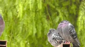 imperial : Animal Bird Pigeons Doves in Green Nature Stock Footage