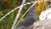 susuzluk : Animal Bird Pigeons Doves near the Fountain Water Pool Stok Video