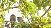 empoleirado : Animal Birds Pigeons on Tree Stock Footage