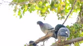 Animal Birds Pigeons on Tree Stok Video
