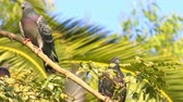 Animal Birds Pigeons on Tree Stock Footage