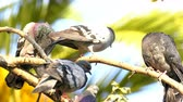 observação de aves : Animal Birds Pigeons on Tree Stock Footage