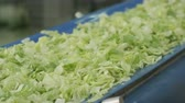 салат латук : closeup camera shows green fresh clean lettuce salad leaves moving on running production line at bright daylight