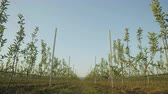 pomar : camera moves slowly along rows of young green apple trees against blue sky on plantation in spring Stock Footage