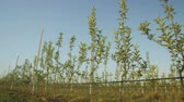 plantáž : camera moves slowly shows rows of young green trees with single apples against blue sky on apple trees plantation