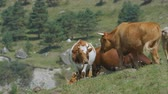 bezerro : closeup slow motion herd of yellow and white cows pastures on green meadow among forestry hills in highland